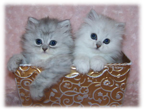 Persian Kittens for Sale - Rose and Tiger Lily